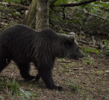 Orsi in Slovenia: dove vederli e fotografarli